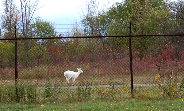 An albino Honkey deer in an old defunct Army Missile Bunker
